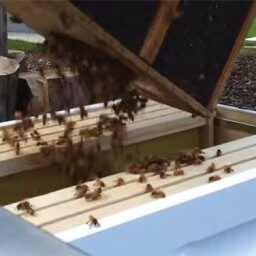 Moving bees from the package into the hive