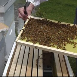 Inspecting frames in a new bee hive
