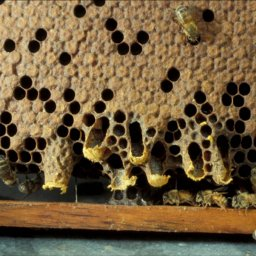 Swarm queen cells on the edge of honey bee comb