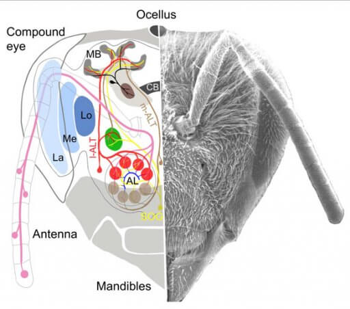Simulated Honey Bees Can Use Simple Brain Circuits For Complex