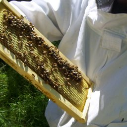Purchasing Established Hives: inspecting a honey super frame