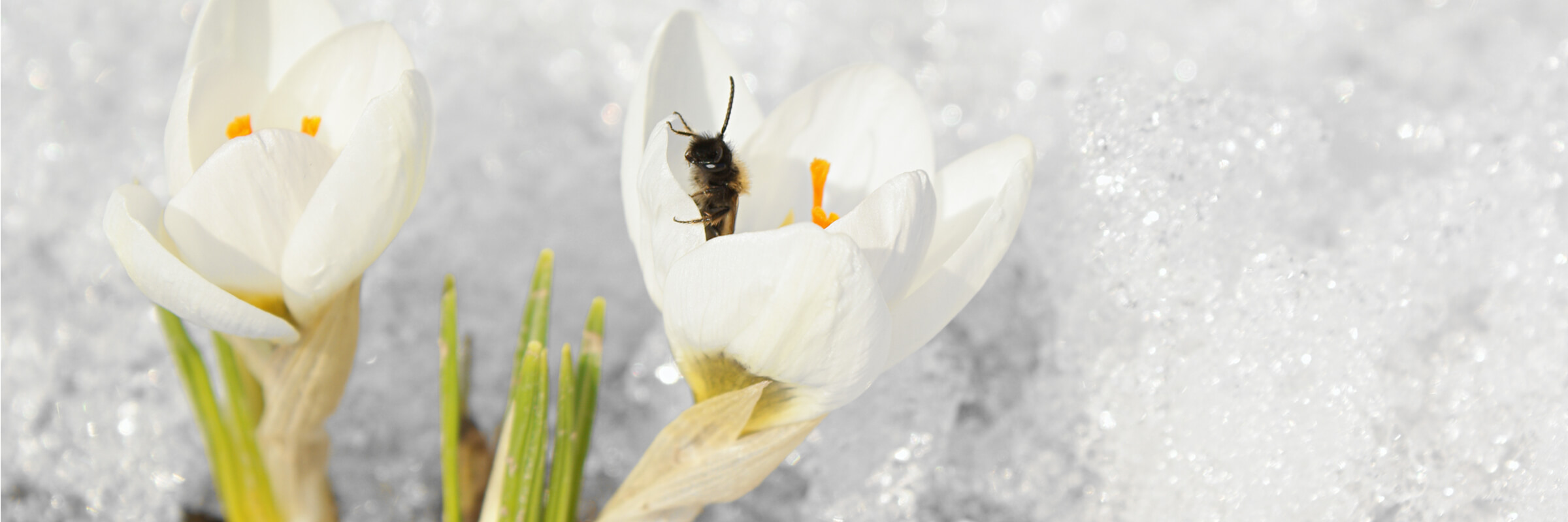 Bee visiting a crocus, one of the few flowers to bloom in early spring