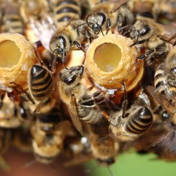 Honey bees sealing queen rearing cups